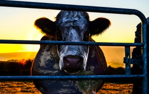 "Dokumentinio filmo ""Cowspiracy: The Sustainability Secret"" kadras"